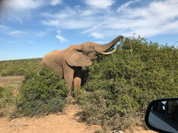 Elephant 462
